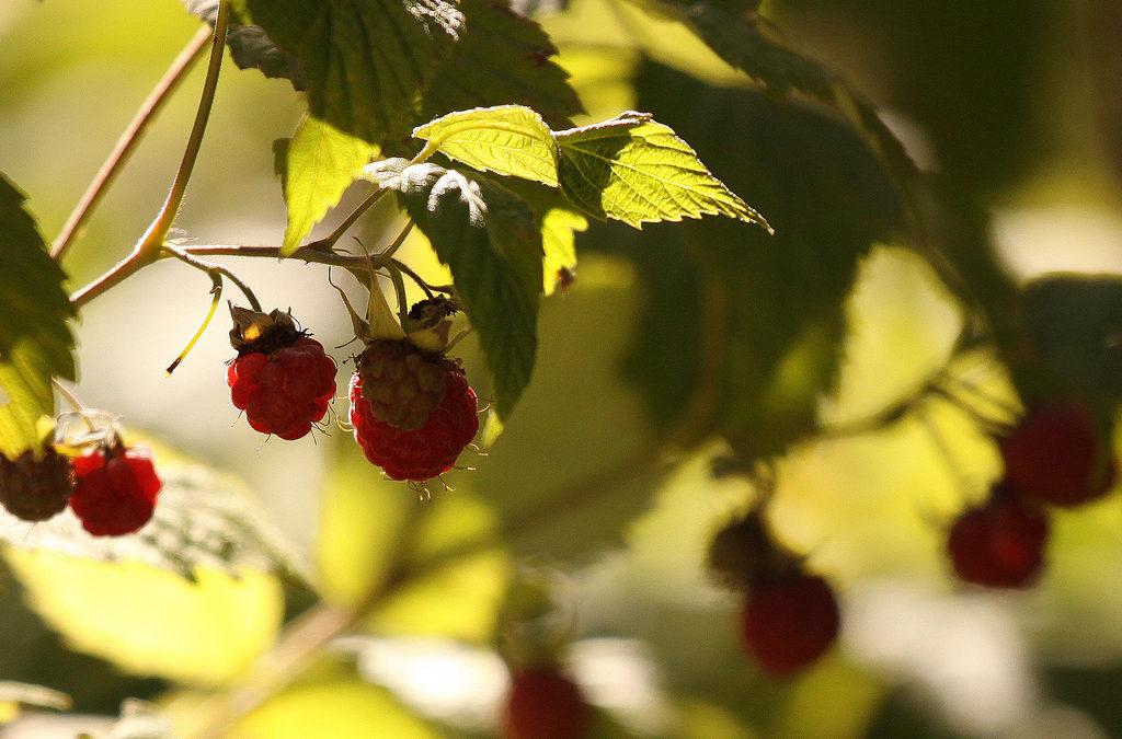 Achat groupé de framboisiers et fraisiers Bio