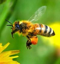 Ruches et abeilles le long de la Sûre (suite du n°25)