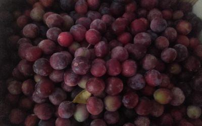 Les prunes à l'honneur lors du dernier atelier de la CUMA !